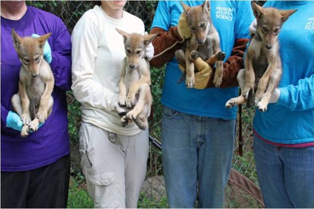 four people each holding a red wolf pup