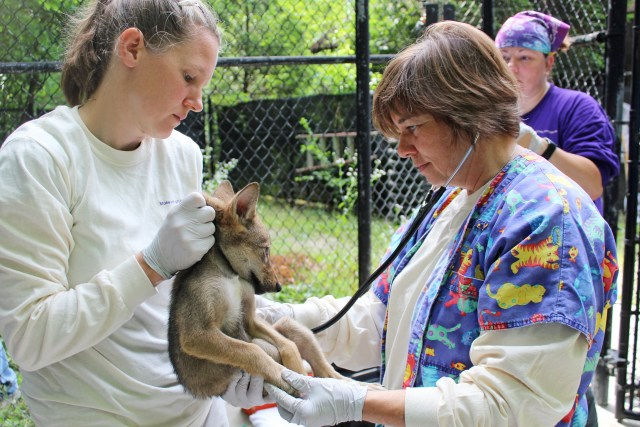 red wolf pup being held and checked by veterinarian