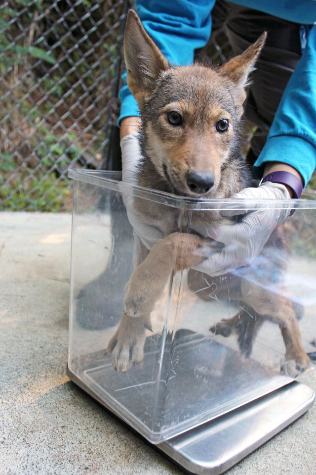 red wolf pup in container on scale