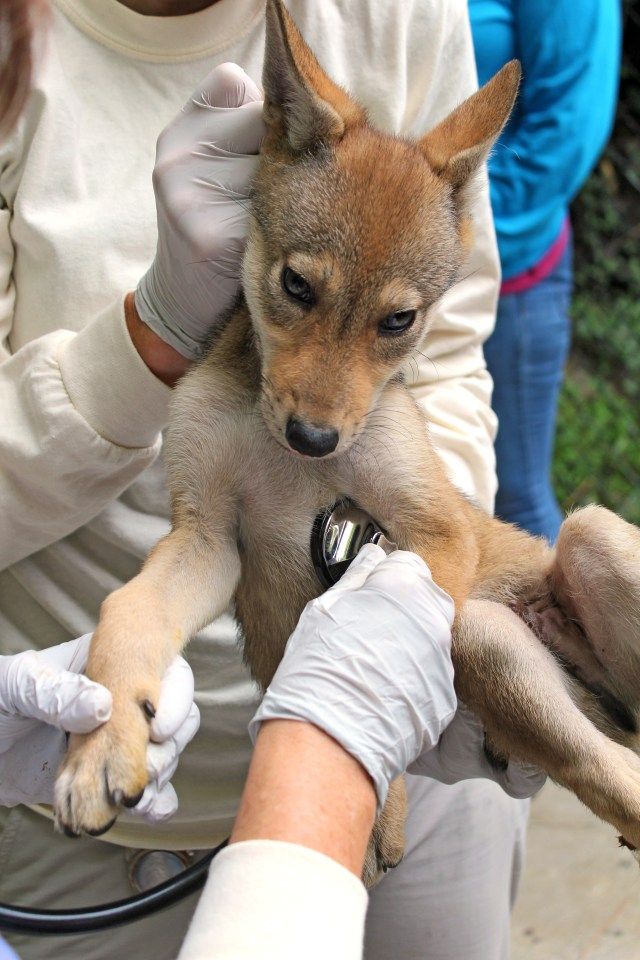 stethoscope on chest of red wolf pup