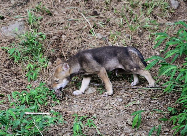 red wolf pup eats