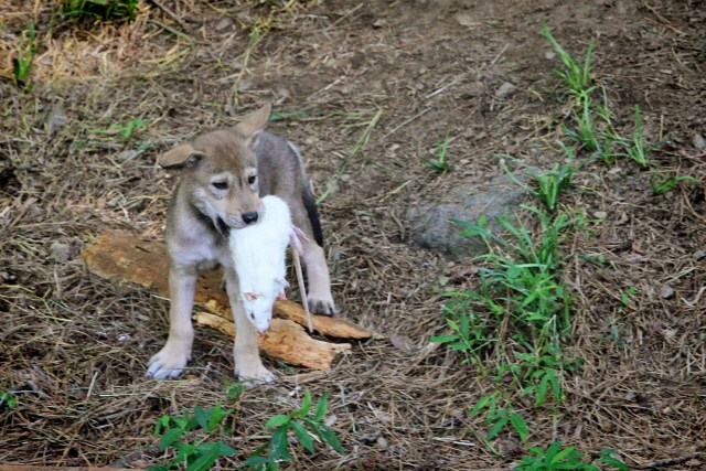 red wolf pup with white rat in mouth