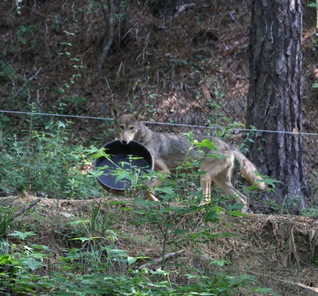wolf with black food bowl in mouth
