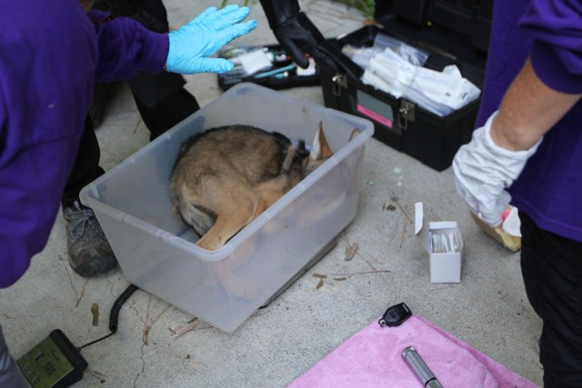 red wolf pup in container for weighing
