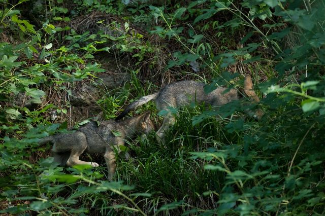 2 red wolf pups walking through grasses