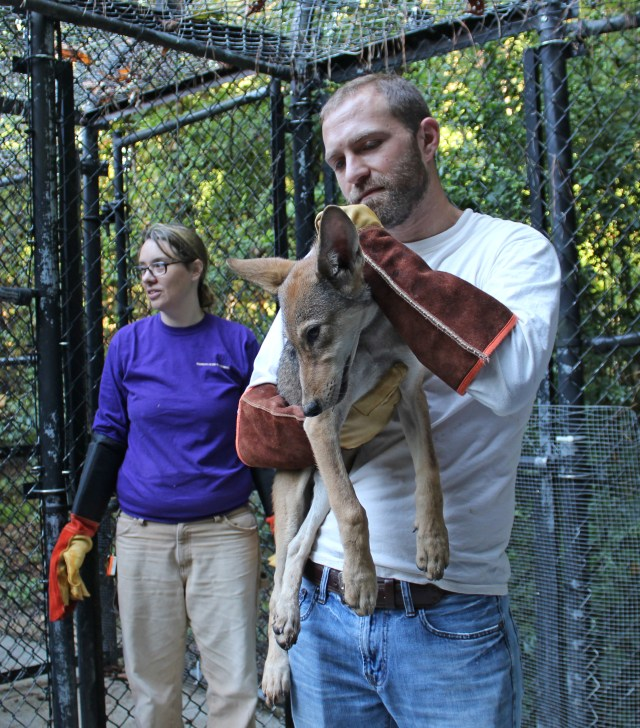 Chris holds red wolf pup
