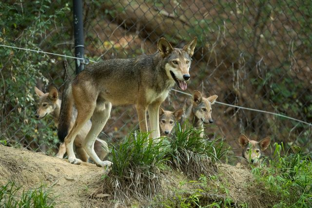 adult red wolf with four pups