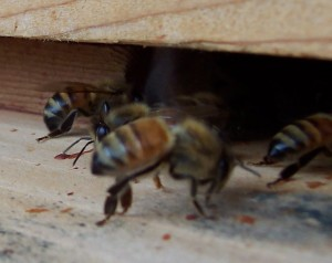 Honey fanners: Their tails are pointed down.