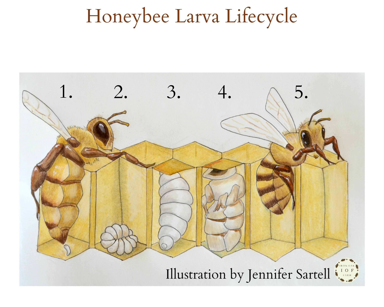 honeybee larva lifecycle keeping backyard bees