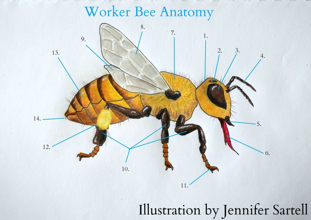 the anatomy of a worker bee keeping backyard bees