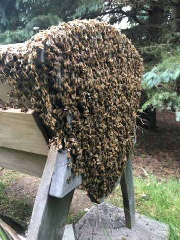 domesticated honey bees