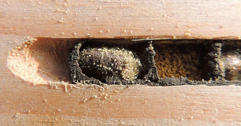 Harvesting Mason Bee Cocoons In 8 Easy Steps Keeping Backyard Bees
