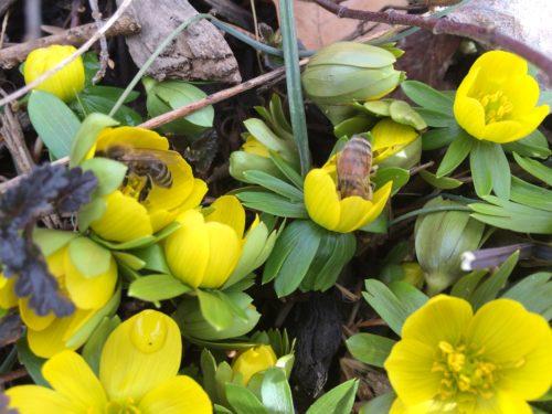 Honeybees flock to the flowers