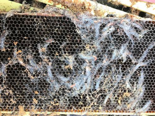 Wax Moth Damage