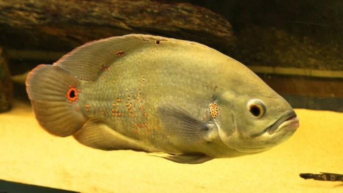 foto di pesce oscar