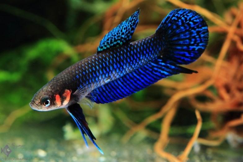 Best Wild Betta Fish for an Aquarium
