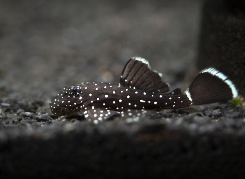 Bristlenose starlight pleco