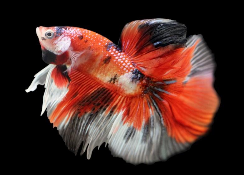 White, black and orange Koi betta.