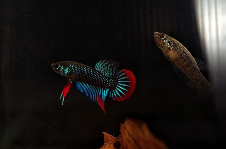 Betta imbellis breeding pair.