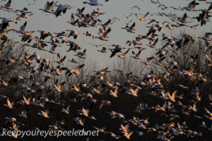 middle creek snow geese (10 of 15)