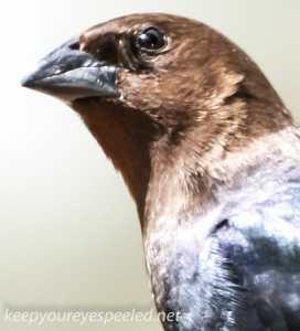 cowbird 4 (1 of 1)
