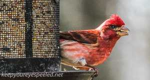 purple finch (1 of 1)