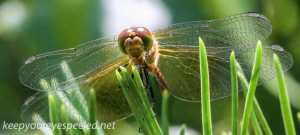 macro dragonfly 334 (1 of 1)