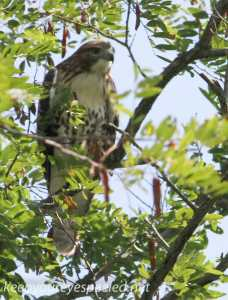 PPL Riverlands hawk 26 (1 of 1)