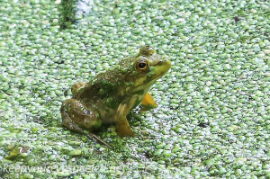 PPL Wetlands frog 2 (1 of 1)