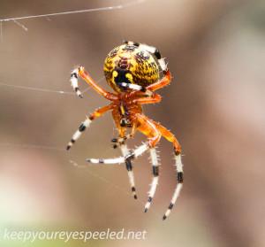 Marbled orbweaver spider (1 of 1)