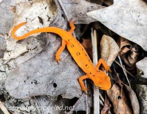 Mushroom walk red spotted newt (1 of 1)