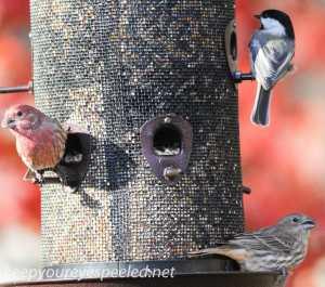 back yard birds 108 (1 of 1)