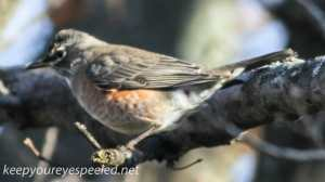 Backyard robin  (1 of 1)