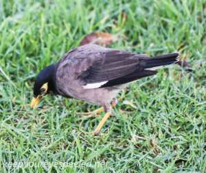 sydney moning walk Botanical Gardens thrush--1