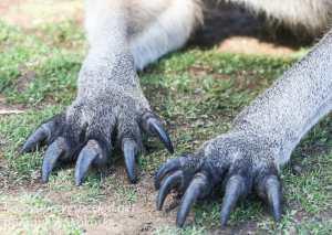 Bonorong kangaroo-33