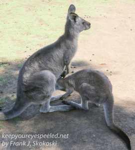 Bonorong kangaroo-41