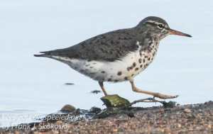Community  sandpiper Hazle township    April 272016 -4