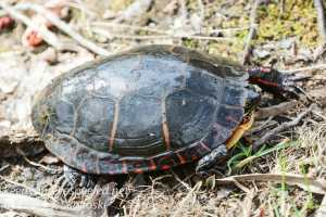Painted turtle -1