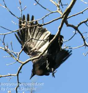 northern raven   April 272016 -5