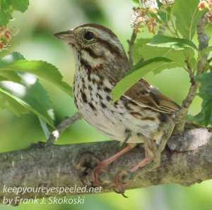 PPL Wetlands sparrow -2