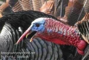 turkeys 2-2