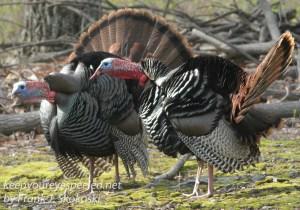 turkeys gobbling -15