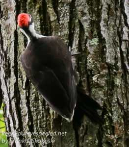 pileated woodpecker-14