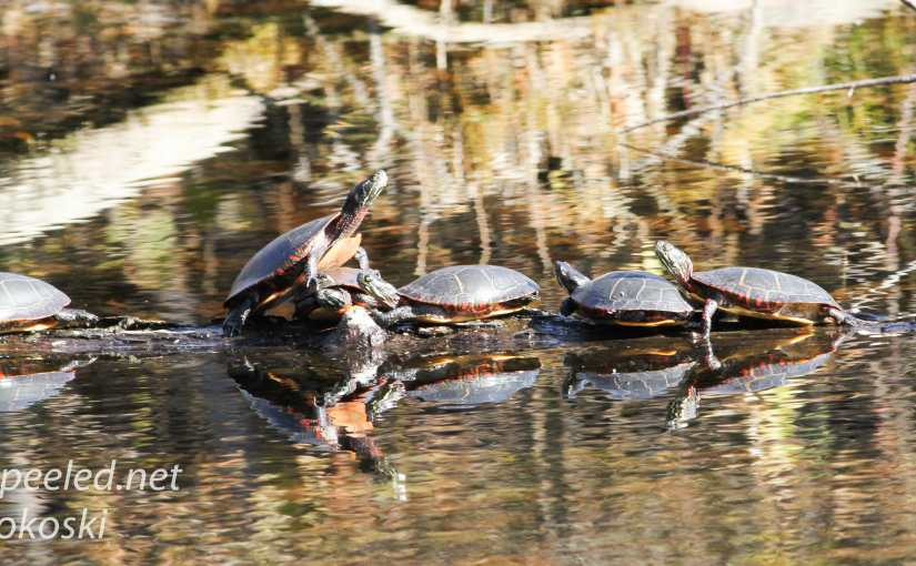 Turtles In November? A Warm And Sunny November Day At The PPL Wetlands.