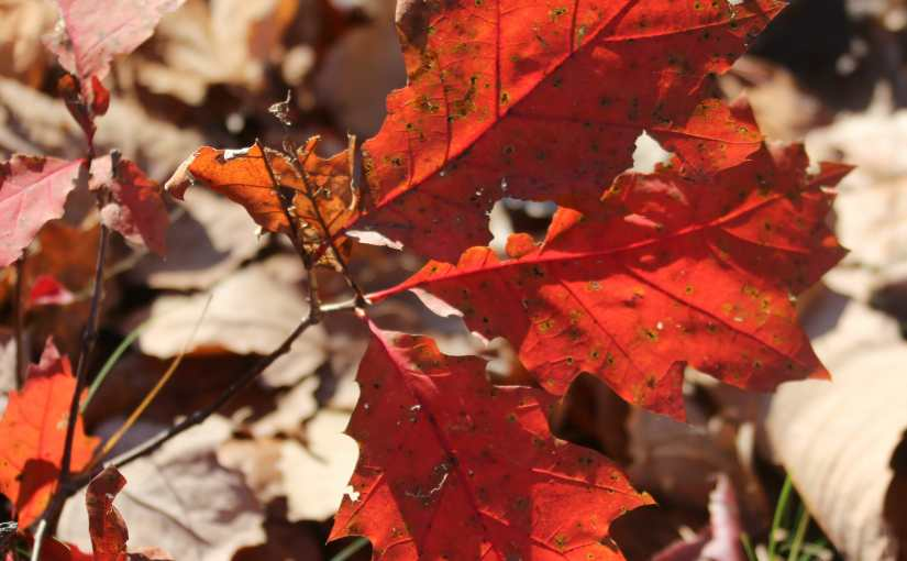 The Last Of Fall Colors Courtesy Of The  Red Oaks: A Hike On The Rails To Trails