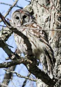 barred owl -6