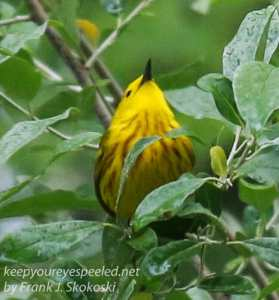 yellow warblers -11