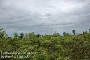 pitch pine barrens -25