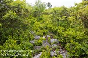 pitch pine barrens -26