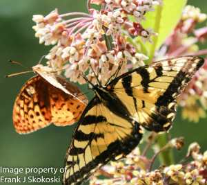 Aphrodite fritillary and eastern tiger swallowtail butterflies on milkweed flowers